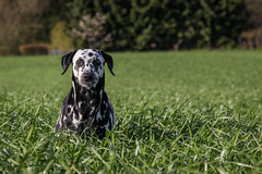 Angie (blumenbiene) Tags: dog white playing black game dogs female walking fun meadow wiese hund schwarz dalmatian hunde spaziergang spielen dalmatiner weis hndin
