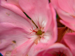 Pink Petunia Macro_14678 (smack53) Tags: flowers plants closeup canon outside outdoors spring blossoms powershot macros petunias budding springtime blooming g12 canonpowershotg12 smack53