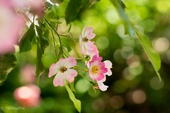 2016 Spring rose #2 (Yorkey&Rin) Tags: macro rose japan tokyo ballerina bokeh may olympus rin 2016 em5 5月 myfriendsgarden springrose olympusm45mmf18 バレリーナ 春バラ 友人宅の庭 t5180668