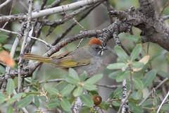 Green-tailed Towhee, Islip Saddle (Junco & roBin) Tags: california birdwatching angelesnationalforest losangelescounty greentailedtowhee