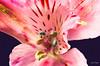 Astromelia I (maspick) Tags: pink plant flower green us unitedstates blossom iowa bloom davenport astromelia