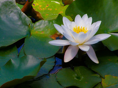 White water lily (Nymphaea odorata) (Sasho Popov) Tags: nature waterlily doublefantasy