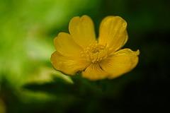 bouton d'or (vieubab) Tags: macro nature fleurs jaune plante bokeh lumire couleurs or extrieur fort flou ptale calme grosplan boutondor greatphotographers flouartistique luminosit