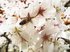 Bee @ work (MSPhotography-Art) Tags: flowers flower nature butterfly germany garden flora outdoor natur pflanzen blumen bee blüte garten insekten schmetterling biene tübingen badenwürttemberg botanischergarten blumenundpflanzen botanikgarden