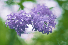 The scent of Lilacs (Paulina_77) Tags: park pink plant blur flower color detail tree green nature colors closeup vintage garden season lens botanical 50mm prime spring nikon colorful branch colours perfume dof purple bright blossom sweet bokeh outdoor vibrant background mother grow vivid blurred depthoffield mount growth lilac german greens ethereal m42 bloom romantic greenery buds dreamy shallow colourful elegant pentacon f18 delicate depth scent lilacs springtime selective blooming 50mm18 focusing 5018 d90 bloomy pentacon50mmf18 bokehlicious pentacon50mm nikond90 multicoated pentacon50mm18 pola77