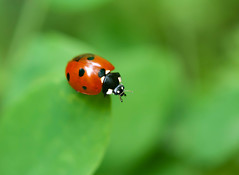 Leap of Faith (Karen McQuilkin) Tags: red green nature bug insect leaf ladybird ladybug leapoffaith karenmcquilkin