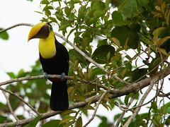 P4278773 (lychee_vanilla) Tags: bird animal toucan costarica tier tucn blackmandibledtoucan ramphastosambiguus vigel quioro tucnpiconegro