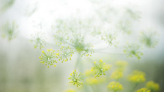tenderness (Rambynas) Tags: plant nature garden dill bokeh tenderness
