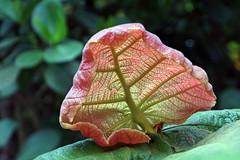 Ein interessantes Blatt (ingrid eulenfan) Tags: texture nature natur pflanze muster kseplatte