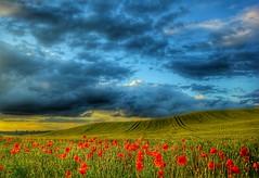 Coxmoor poppies (David Ward4) Tags: red summer poppies kirkby kirkbyinashfield coxmoor