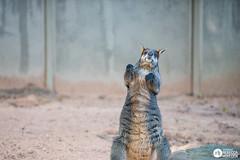 Sydney 06.2016 (de-tec-tive) Tags: photography zoo nikon sydney wallaby roo tarongazoo d800 rebeccahoulden