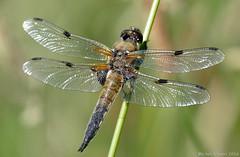 Libellule à 4 taches (Libellula quadrimaculata) (zogt2000 (No Video)) Tags: libellulaquadrimaculata pontlabbé libelluleàquatretaches