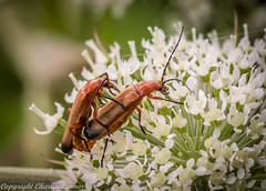Soldier Beetles (cconnor124) Tags: nature canon wildlife insects northernireland canoneos naturephotography flyinginsects soldierbeetles wildlifephotography loughbrickland