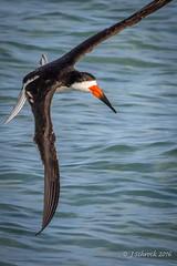Black Skimmer at Indian Shores beach, FL (jschrock46) Tags: beach blackskimmer skimming