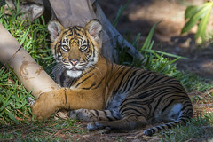 Chew Toy (San Diego Zoo Global) Tags: travel baby cute tourism nature animals sandiego tiger conservation cubs sandiegozoo bigcats safaripark sandiegozooglobal2016