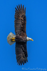 Bald Eagle (Chris Parmeter Photography (smokinman88)) Tags: sky bird nature animal flying nikon eagle bald 300mm raptor majestic d500 14xtcii f4pf