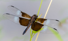 Male Widow Skimmer (tresed47) Tags: 2016 201607jul 20160701kerrparkinsects brandywinekardon canon7d chestercounty content dragonflies flowers folder insects pennsylvania peterscamera petersphotos places takenby us widowskimmer