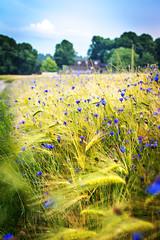 Blue Dots (juerger69) Tags: blue cornflowers grainfield