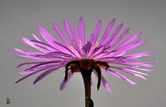 _DSC0706 -Fleur (Le To) Tags: flower fleur fiore contreplong