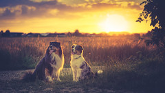 Soulmates together (Bokehschtig (back, but catching up slowly)) Tags: flickrfriday aussie australianshepherd sunset sundown dogs canine sony a7 sonya7 sel90f28g 90mm f28 sunlight