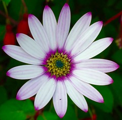 Osteospermum (christineperry1) Tags: flower garden daisy colours pink