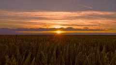 Sunset over endless fields (FocusPocus Photography) Tags: sunset summer sky field landscape evening abend sonnenuntergang sommer wheat feld himmel landschaft badenwuerttemberg weizen