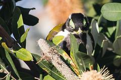 young Blue-faced Honeyeater (steve happ) Tags: bluefacedhoneyeater entomyzoncyanotis newsouthwales kingscliff