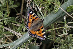 Small Tortoiseshell (me'nthedogs) Tags: butterfly somerset levels smalltortoiseshell westhay