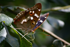 _F0A3484.jpg (Kico Lopez) Tags: rio spain galicia mariposas lugo mio apaturailia tornasolada