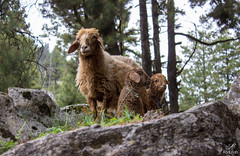 Silence of the lambs (aliabdullah.176) Tags: travel pakistan baby animal trekking wildlife ngc adventure valley lamb lambs 1855mm t3i haramosh kutwal gilgitbaltistan iskere
