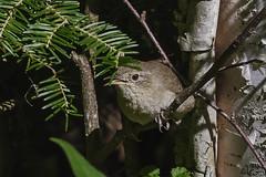 House Wren_0481 (Kerry. Williams - Amateur) Tags: housewren birds borealforrest manitoba lakewinnipeg wren