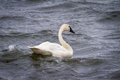 Tundra swan (frostnip907) Tags: swan wildlife alaska nature bird tundraswan