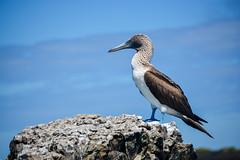 Mr. Booby (leoleamunoz) Tags: naturaleza bird nature ecuador aves ave booby pjaro galpagos