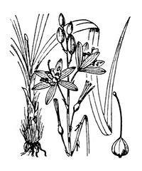 Anthricum  fleurs de lis (Nemorivagus-Nature) Tags: flore asparagaceae anthericumliliago