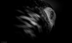 Miroir de l'me (Pilouchy) Tags: miroir lme monochrome noir birds oiseau plume free wind eyes yeux regard lumiere gabon gris foret wood forest africa bec