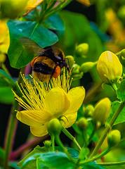 Early Bumble Bee On St John's Wort (IAN GARDNER PHOTOGRAPHY) Tags: nature wildlife naturalhistory insects bees bumblebees roseofsharon stjohnswort pollensacs yellow yellowflowers petals earlybumblebee bombuspratorum