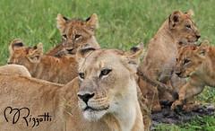 """Lions """"Let's Settle Down In Back !"""" (girlslens) Tags: africa lion botswana okavangodelta chitabe"""
