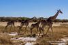 Giraffe In Etosha National Park, Namibia (NativePaul) Tags: africa travel vacation holiday game animal animals honeymoon wildlife may roadtrip safari wildanimal giraffe namibia etosha gamepark wildanimals southernafrica 2014 sadc etoshanationalpark oshikoto may2014