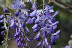 Wisteria (ddsnet) Tags: plant flower sony resolution  wisteria  ilc   7r mirrorless  interchangeablelenscamera 7r ilce7r