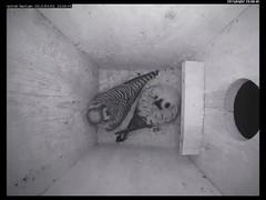 Kestrel - First Egg Laid of 2015 Nesting Season (Darin Ziegler) Tags: urban colorado nest coloradosprings americankestrel nestbox sparrowhawk falcosparverius vivotekfd8151vnetworkcamera