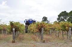 Harvest in the vineyard (Palmou) Tags: vineyard wine harvest grapes southaustralia harvester coonawarra ernte weinlese