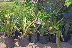 IMG_0862_294 (scenescape-partners) Tags: cactus india plant succulent aloe nursery lithops euphorbia variegated agave haworthia cycas rare sansevieria gasteria zamia jatropha scenescape caudiciform monstrose encphalartos