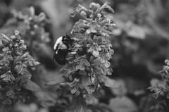 Bee Macro (bobbisharp) Tags: flowers macro nature foliage pollenating beemacro