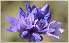 Blue Dicks Blooming (tdlucas5000) Tags: california blue flower macro purple bokeh beetle lancaster wildflowers dicks