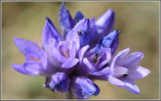 Blue Dicks Blooming