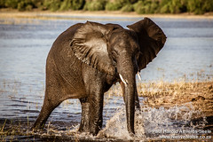 Young Elephant Bathing In Chobe National Park, Botswana