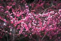 Layers of Pink (Jake in Japan) Tags: pink japan spring kyoto shrine bokeh sony    kitanotenmangu plumblossoms      apsc a6000 sel1670z e1670mmf4zaoss 6000 ilce6000 jakejung