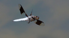 Common whitetail in flight (jim_mcculloch) Tags: austin dragonflies odonata dsc7492t