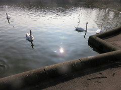 2015_03_200022 (Gwydion M. Williams) Tags: uk greatbritain england lake eclipse swan britain swans coventry westmidlands warwickshire solareclipse wildfowl partialsolareclipse swanswell swanswelllake