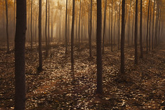 Fog in the Forest (DavidFrutos) Tags: autumn trees naturaleza brown tree nature fog landscape interestingness interesting árboles explorer fineart atmosphere paisaje explore árbol otoño alameda canondslr niebla ocre albacete ambiance chopos álamos explorar canon1740mm interesantísimo davidfrutos 5dmarkii poplarfield